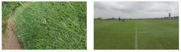 Jenis rumput lapangan bola Zoysia Matrella